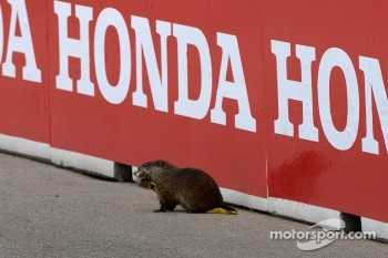 A groundhog on the track during pace laps