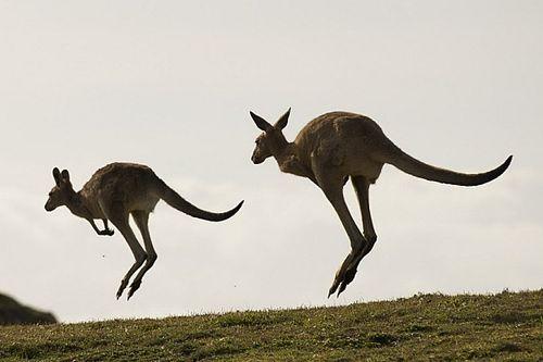 VIDEO: Kangoeroes op de baan tijdens 12 uur van Bathurst-training