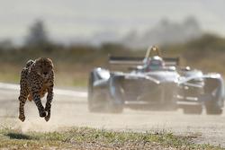 Un guepardo corre contra un Fórmula E