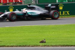 Lewis Hamilton, Mercedes AMG F1 Team W07 passes a duck