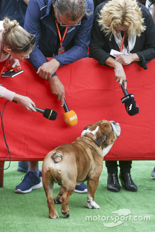 A dog belonging to Lewis Hamilton, Mercedes AMG F1, attracts attention from media