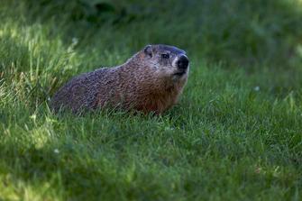 Una marmota durante la acción de la carrera