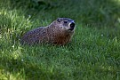 FIA explica incidente com marmota no Canadá