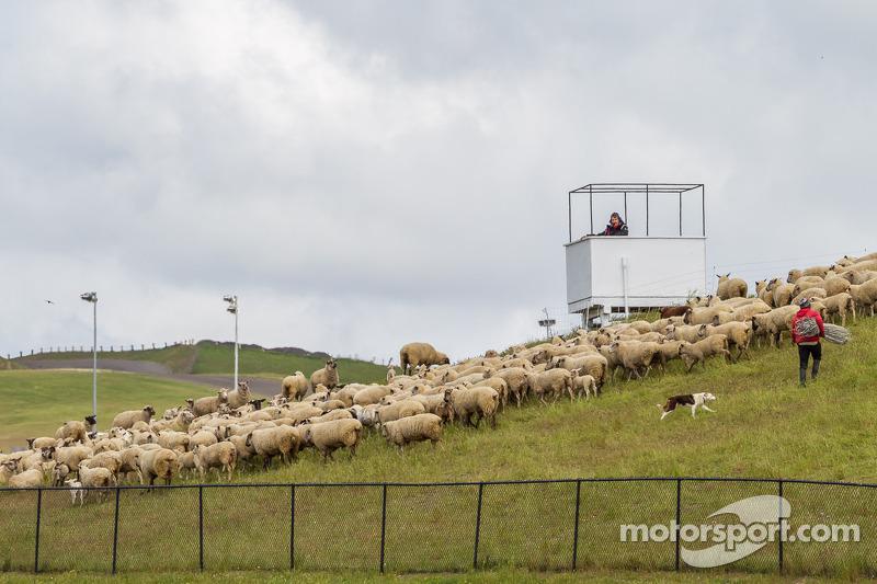 Cane da pastore al lavoro a Sonoma