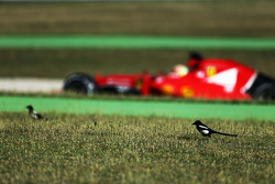 Esteban Gutierrez, Ferrari SF15-T Test and Reserve Driver passes birds in the grass