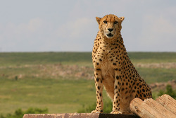 A Cheetah at the Rhino and Lion Nature Reserve