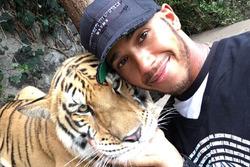 Lewis hamilton tigre
